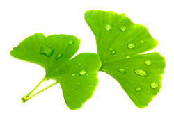 Zwei Gingko-Blätter - Gingko fördert die Mikrozirkulation